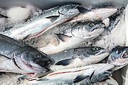 Salmon fishing, Sitka, Alaska