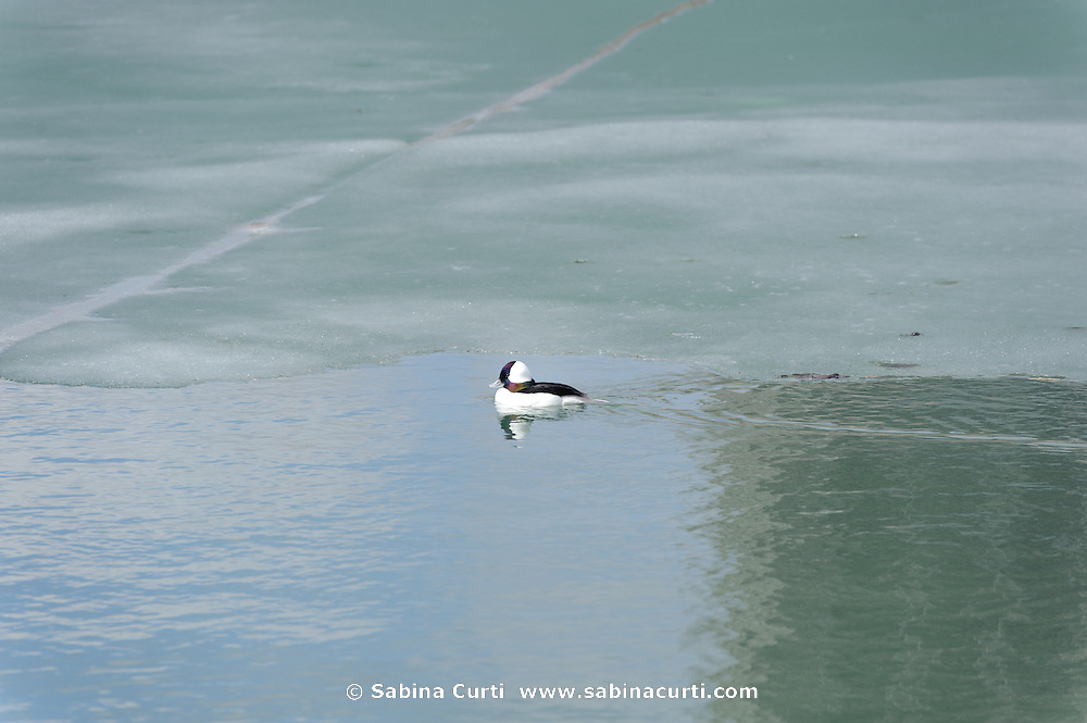 Bufflehead duck, Humber Bay Park