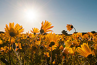 Yellow Namaqua Daisies at dawn, Papkuilsfontein, Northern Cape, South Africa
