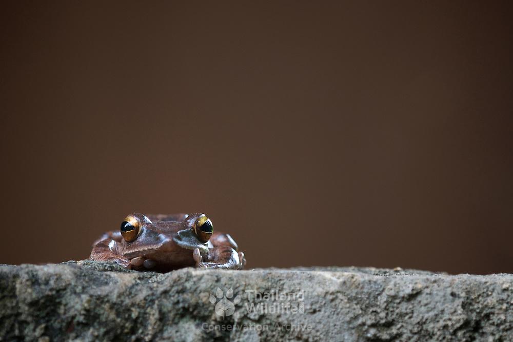 Common Tree Frog, Polypedates leucomystax in Thap Lan National Park, Thailand.