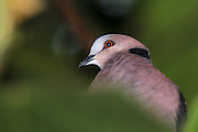 The Red-eyed Dove is a pigeon which is a widespread resident breeding bird in Africa south of the Sahara. This one is captured in Rwanda | Rødøyeduen er en duefugl som ruger fast i Afrika, sør for Sahara. Denne duen som sitter i et tred er fotografert i Rwanda.