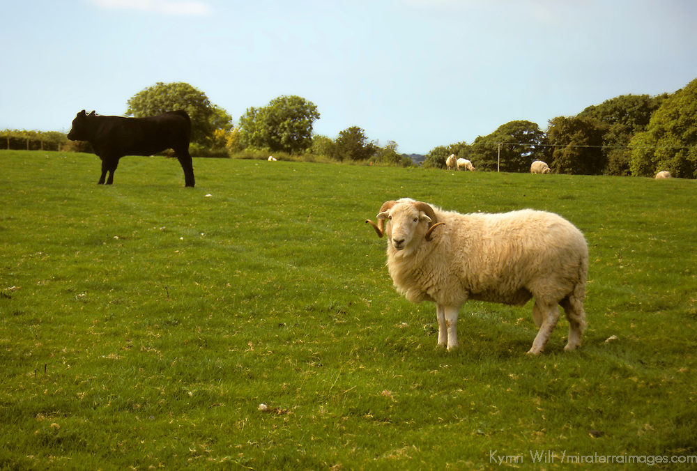 Europe, United Kingdom, Wales. A Black Angus cow and a sheep stand in a farm field in the Welsh countryside.
