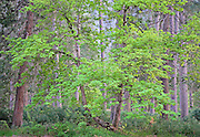luminescent spring maple tree in pine forest in late evening light, Yosemite National Park, CA.