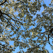 """""""Under Blue Skies and Blossoms""""<br /> <br /> Ah, the sheer joy of spring! Gazing up at lovely branches filled with white blossoms against a bright blue sky!!<br /> <br /> Flowers by Rachel Cohen"""