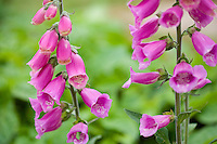 common foxglove growing in a garden