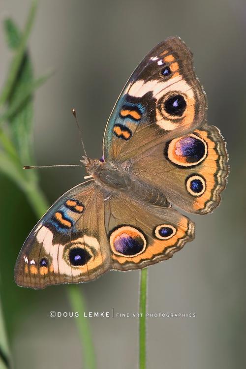 Butterfly, Common Buckeye, Top Down View, Junonia coenia Hübner