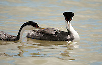 A pair of Western Grebes tend to their young which is taking a ride on one of the adults back while the other adult dives to find food for its young May 2016 Bear River Bird Refuge in northern Utah.