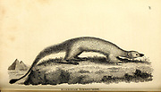 Egyptian mongoose (ichneumon) from General zoology, or, Systematic natural history Part I, by Shaw, George, 1751-1813; Stephens, James Francis, 1792-1853; Heath, Charles, 1785-1848, engraver; Griffith, Mrs., engraver; Chappelow. Copperplate Printed in London in 1800. Probably the artists never saw a live specimen