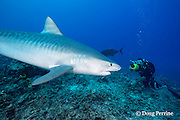 Dr. Andrew West films underwater video of tiger shark, Galeocerdo cuvier, for Hawaii Wildside pilot, Honokohau, Kona, Big Island, Hawaii, USA ( Central Pacific Ocean ) MR 472