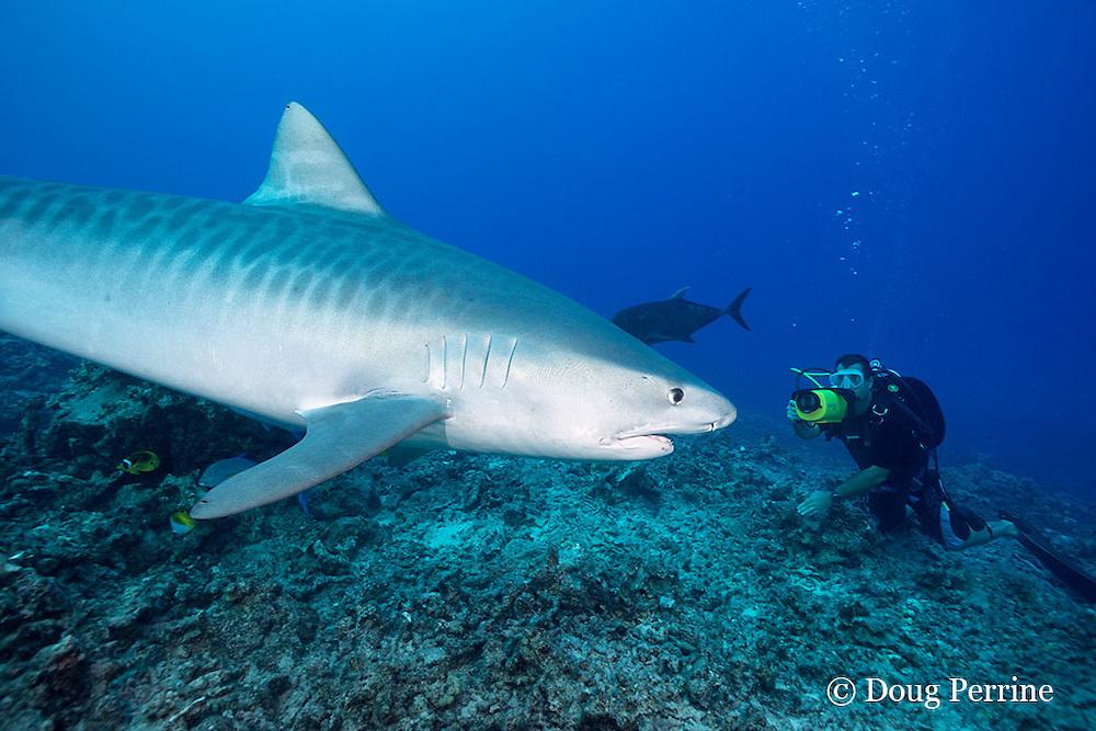Dr. Andrew West films underwater video of tiger shark, Galeocerdo cuvier, for Hawaii Wildside pilot, Honokohau, Kona, Big Island, Hawaii, USA ( Central Pacific Ocean ) MR 472