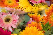 Mixed Gerbra Daisies, Sunflowers, Pink, Orange, Yellow, bloom, blooming, blooms, blossom,  Red, color, flora, flower, flowering, flowers, nature,