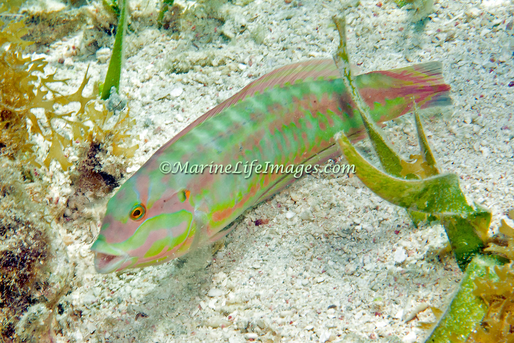 Slippery Dick constantly swim about reefs and adjacent sand areas and sea grass beds in Tropical West Atlantic; picture taken Roatan, Honduras.
