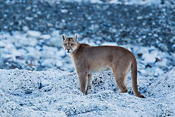 A puma (Puma con color) also known as a mountain lion or cougar,  standing on the edge of a stromolite rock, Torres del Paine, Chile, South America