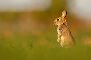 European Rabbit (Oryctolagus cuniculus)  young alert on hind legs in wheat field, South Norfolk, England, April.