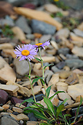 Late blooming aster in the debris left by a former glacier at the base of Mount Clements at Logan Pass, Glacier National Park, Montana, Tuesday, October 7, 2014. According to Dan Fagre Ph.D. of the USGS receding glaciers in the park means that streams dry up in late summer and fall and that without the water available from melting ice in the late summer a lot of grasses will dry up and be less nutritious.