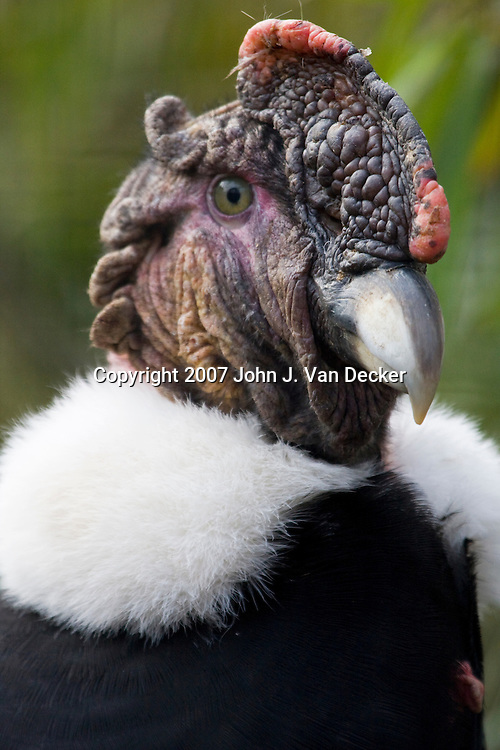 Close-up of the head of a male Andean Condor, Vultur gryphus, Bergen County Zoo, Paramus, New Jersey, USA