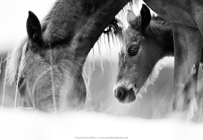 a young foal peers out from behind mom as they work their way along the dunes of the Outer Banks. Part of the Corolla wild horse herd