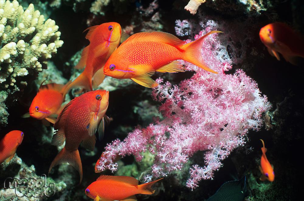School of Flame Angelfish on reef