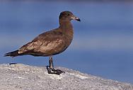 Heermann's Gull - Larus heermanni - 1st winter