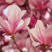 &quot;Magnolia Abundance&quot;<br /> <br /> Flowers by Rachel Cohen