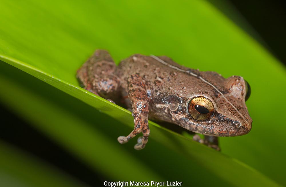Common coqui, Eleutherodactylus coqui, El Verde, El Yunque NF, Puerto Rico