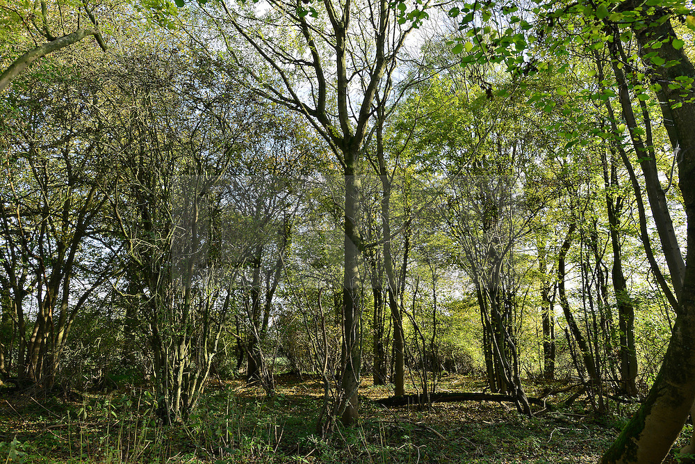 © Licensed to London News Pictures. 07/11/2012. LAWSHALL, UK Trees at an infected site in East Anglia today, 7th Novemember 2012. UK ash trees are threatened by the spread of Chalara disease, more commonly known as Ash Dieback. Photo credit : Stephen Simpson/LNP