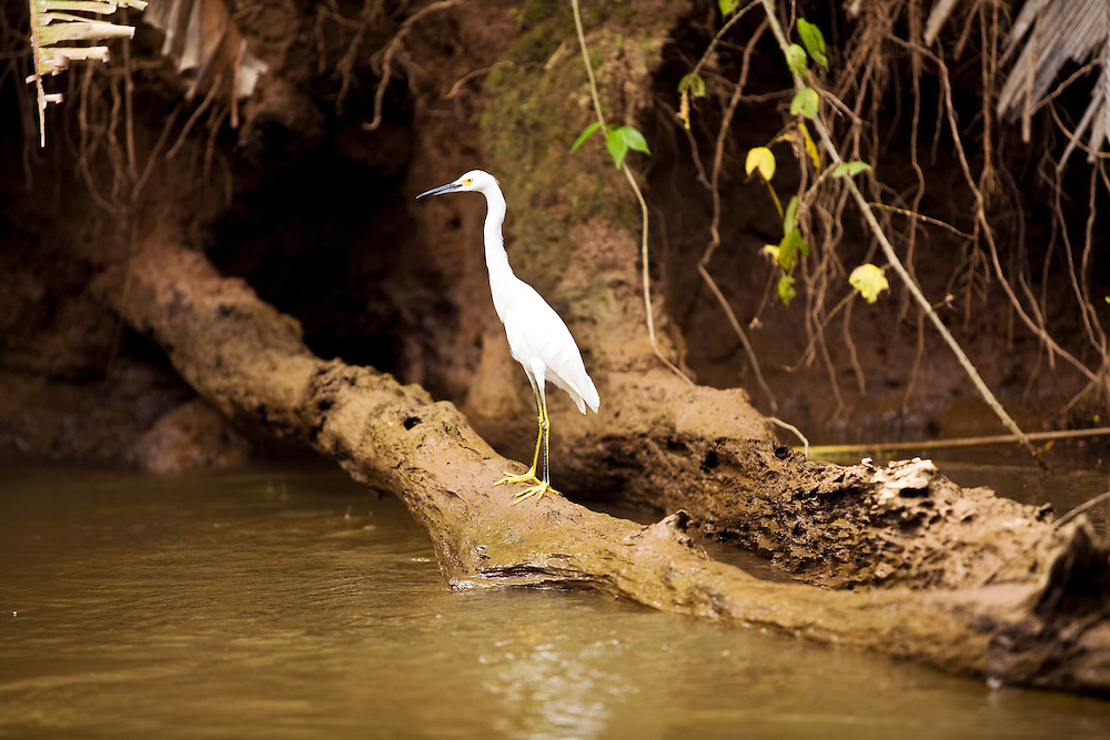 An egret rests on a log on the banks of the Waterways of Tortuguero.  Located on the Caribbean coast of Costa Rica, Tortuguero is well known for the nesting turtles on its beaches as well as its diverse wildlife along its rivers banks.