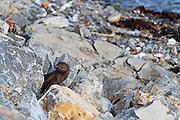 American Mink (Mustela vison) peering out from between rocks in Hulls Cove, Maine.