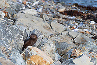 American Mink (Mustela vison) peering out from between rocks in Hulls Cove, Maine.