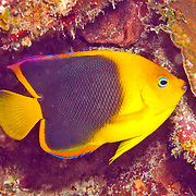 Queen Angelfish inhabit reefs and surrounding areas in Tropical West Atlantic; picture taken  Roatan, Honduras.