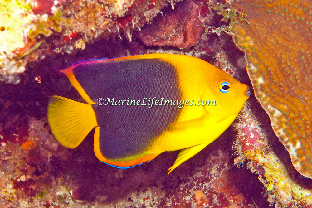 Queen Angelfish inhabit reefs and surrounding areas in Tropical West Atlantic; picture taken  Roatan, Honduras.