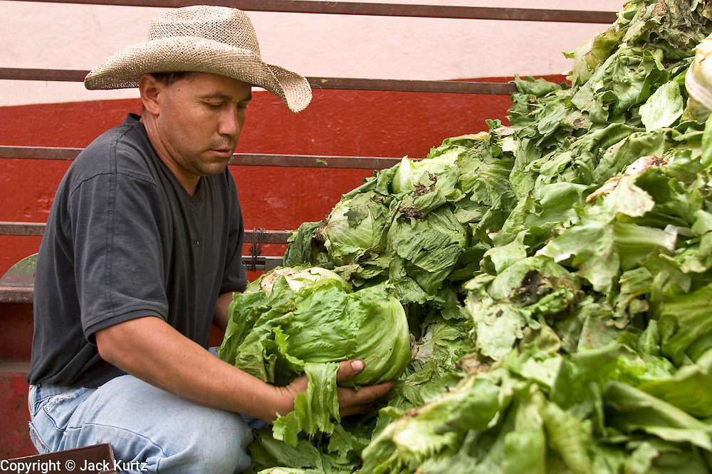 03 APRIL 2004 - SAN MIGUEL DE ALLENDE, GUANAJUATO, MEXICO: A man sorts lettuce in the back of his pickup truck in the market in San Miguel de Allende, Mexico. San Miguel, which was founded in the 1600s, is one of Mexico's premier colonial cities. It has very strict zoning and building codes meant to preserve the historic nature of the city center. About 7,500 US citizens, mostly retirees, live in San Miguel. PHOTO BY JACK KURTZ