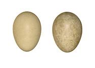 Blue-headed Wagtail - Motacilla flava flava