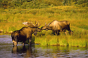 Alaska. Denali National Park and Preserve. Bull Moose (Alces alces) and cow in water,  mating behavior.