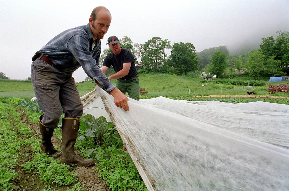 Apprentice Ben Canonica helps Kyle Jones remove remay covering from Kohlrabi at Fat Rooster Farm in Royalton, Vt., on June 19, 2003. The covering keeps insects away from the plants and elevates temperatures on cool days. (Photo by Geoff Hansen)