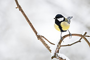 Great Tit, Parus major, winter, Kaamanen, Finland