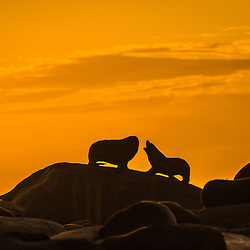 Silhoutte od sea lions on a rock at sunset, Cabo Polonio, Uruguay.