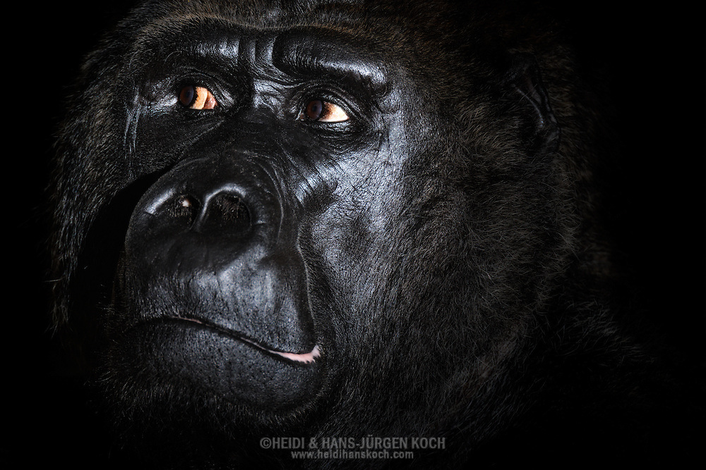 Gorilla, Western Lowland Gorilla, (Gorilla gorilla gorilla).Portrait of an adult male gorilla (Silverback). Grim expression of the alpha-animal. Gorillas do not like the direct, fixed gaze, it is seen as aggression. Therefore often takes a short observation rather than from out of the corner of one's eye...Gorilla,  Westlicher  Flachlandgorilla (Gorilla gorilla gorilla).Portrait eines ausgewachsenen Gorilla-Mannes (Silberrücken). Grimmiger Blick des Alpha-Tieres. Gorillas mögen den direkten, fixierenden Blick nicht, er wird als Aggression verstanden; daher findet oft ein kurzes Beobachten aus den Augenwinkeln statt. .