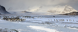 King Penguin (Aptenodytes patagonicus) colony in South Georgia.