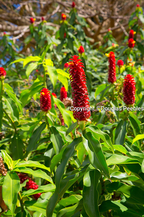 Red ginger, World Botanical Gardens & Waterfalls.at Botanical World, Hamakua Coast, Big Island of Hawaii