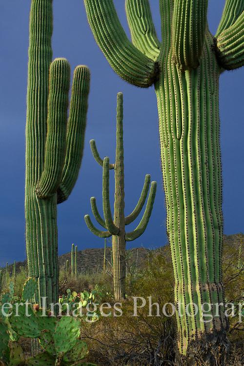 Saguaro National Park<br /> Tucson, Arizona