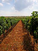 Pamukkale vineyard (former lakebed)