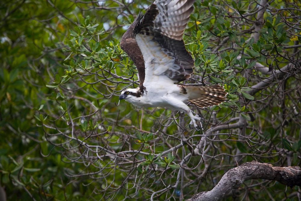 Venezuela_VEN, Venezuela...Ave de rapina em regiao montanhosa da Venezuela...Bird of prey in the mountainous region of Venezuela...Foto: JOAO MARCOS ROSA / NITRO