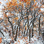 Autumn snowfall clings to Gambel's oak and serviceberry, White River National Forest, Colorado, USA