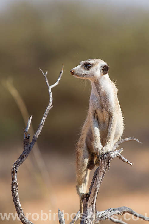 Meerkat looking out for predators on raised guard in a bush.