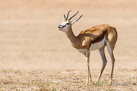 Springbok ewe flehman lip curling, Kgalagadi Transfrontier Park, Northern Cape, South Africa