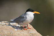 A male river tern sits on a rock, ready to go find food to feed his mate as part of a courtship ceremony, Ranganathittu Bird Sanctuary, India