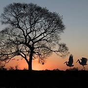 A pair of Jabiru Storks on the Pixaim riverbank Pantanal, Brazil.