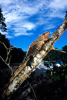 Lizard, Playa Espadilla Sur (beach), Manuel Antonio National Park, Costa Rica
