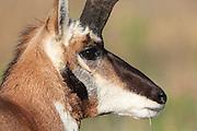 Pronghorn (antelope) in autumn habitat